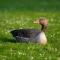 Gęś gęgawa –ptak goszczący wPolsce