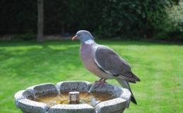 Gołąb grzywacz- najpopularniejszy ptak miast
