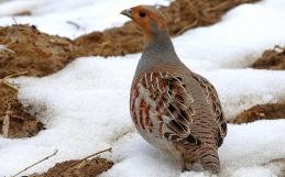 Kuropatwa – coraz rzadszy ptak