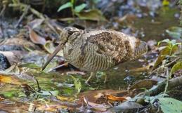 Słonka –osobliwy ptak